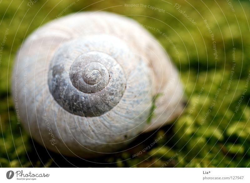 Im Moos Schneckenhaus Haus Spirale gedreht Weinbergschnecken grün Märchenwald Mangel Rarität Kalk rund finden Fundstück ruhig Erholung Makroaufnahme Nahaufnahme