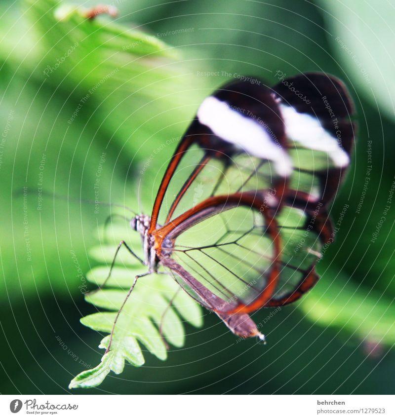 manchmal ist weniger mehr Pflanze Farn Blatt Schmetterling Flügel glasflügelfalter berühren Bewegung Erholung fliegen schlafen sitzen außergewöhnlich exotisch