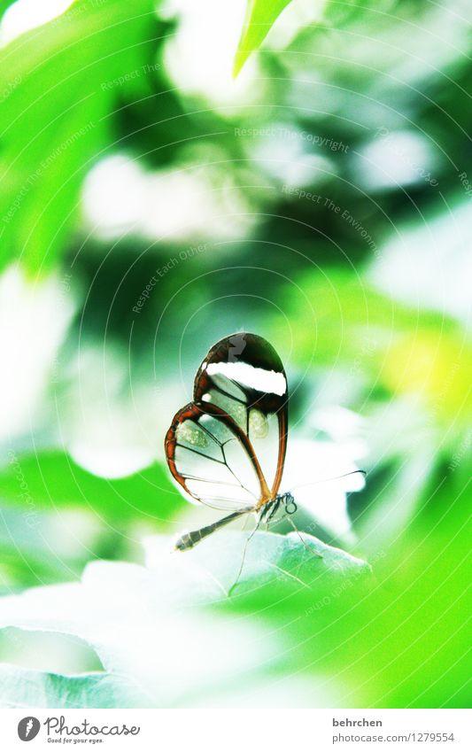 klein wie eine schneeflocke Natur Pflanze Tier Frühling Sommer Schönes Wetter Baum Blatt Garten Park Wiese Wildtier Schmetterling Flügel glasflügelfalter 1