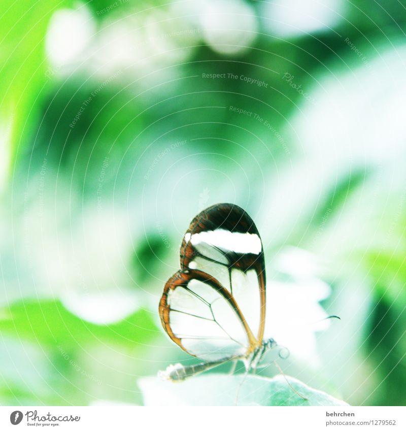 licht Natur Pflanze Tier Frühling Sommer Schönes Wetter Baum Blatt Garten Park Wiese Wildtier Schmetterling Flügel glasflügelfalter 1 beobachten Erholung