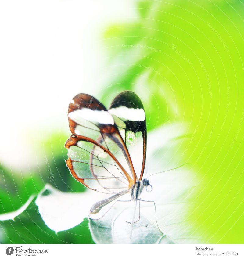 verletzlich Natur Pflanze Tier Frühling Sommer Schönes Wetter Baum Blatt Garten Park Wiese Wildtier Schmetterling Flügel glasflügelfalter 1 beobachten Erholung