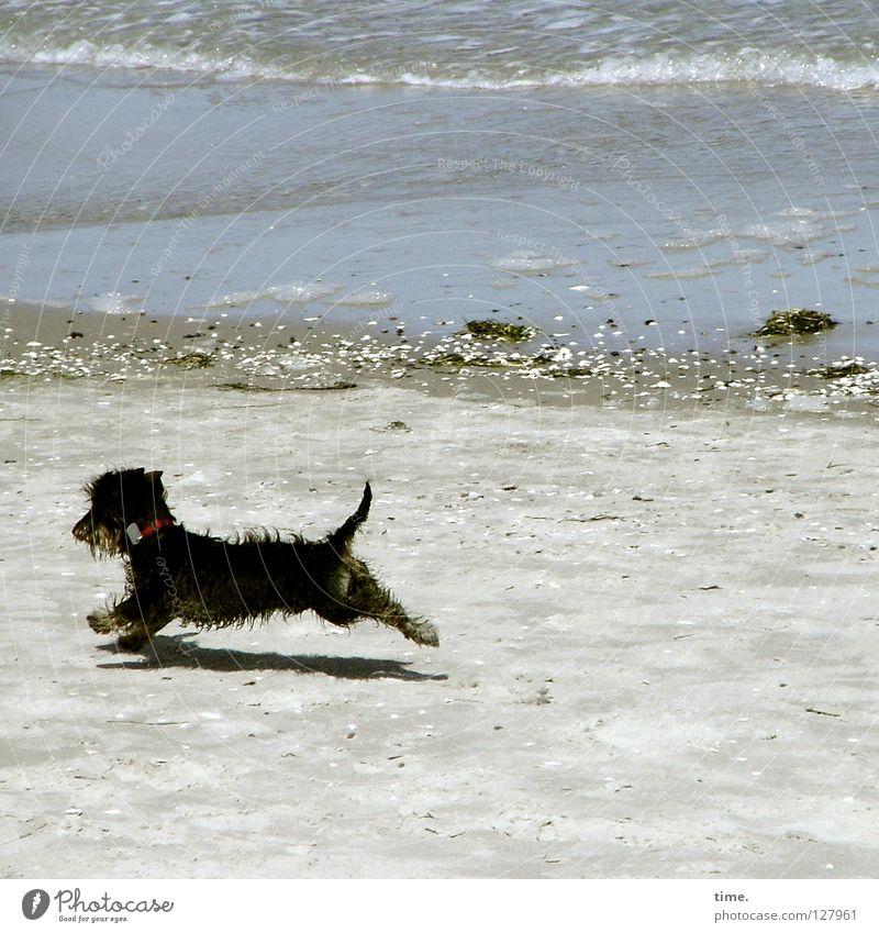 Strandwart Hund Dackel Meer Weststrand Kies Gischt Wellen klein toben Spielen Freude Küste Pirsch Sand Ostsee Stein laufen rennen Jagd Wasser Begeisterung