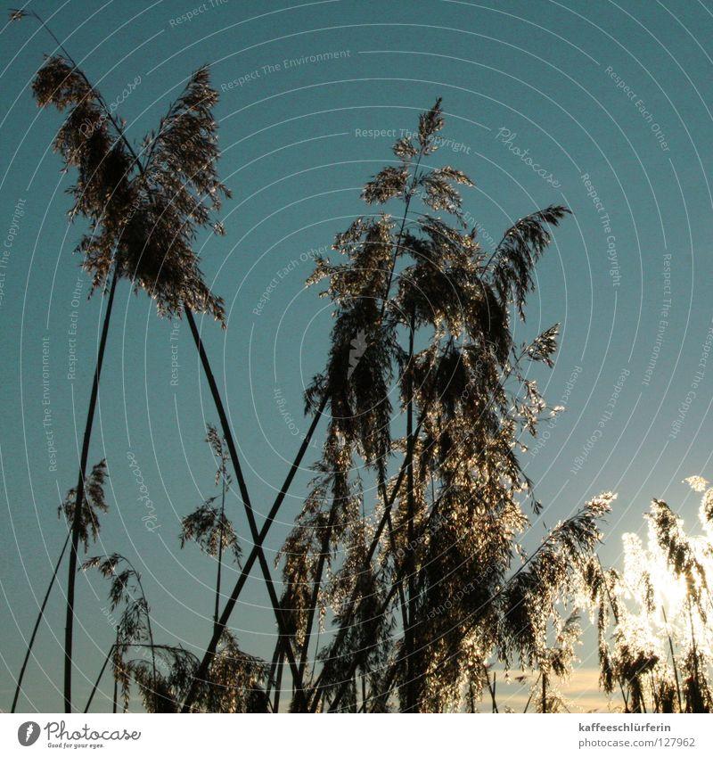 Restlicht Gras Schilfrohr Abendsonne Sonnenuntergang Gegenlicht glänzend schimmern Februar kalt Himmel Abenddämmerung blau