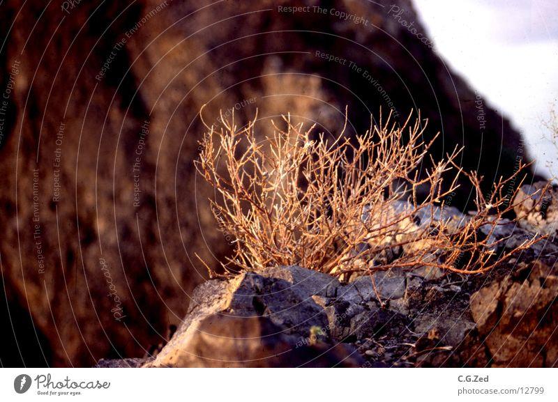 Wüstengewächs Wärme Sträucher Wüste Physik Zweig