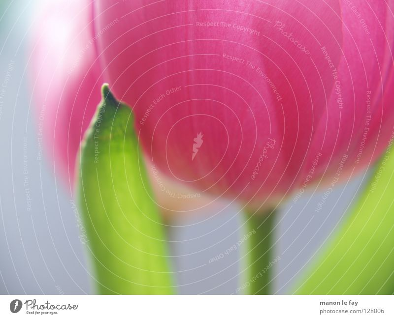 Rosa Blume Tulpe rosa violett grün Hintergrundbild Unschärfe Frühling Sommer Blüte Blütenkelch Niederlande zerbrechlich Makroaufnahme Nahaufnahme blau elegant