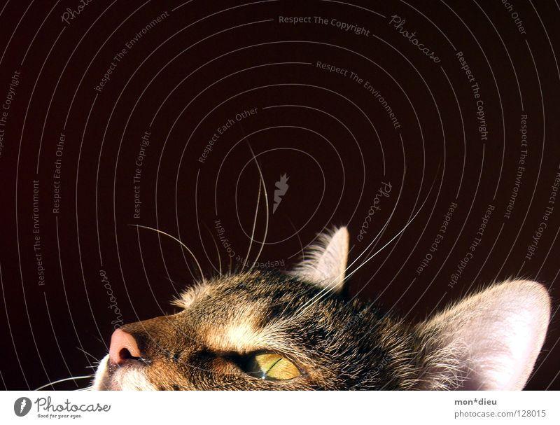 sonnenanbeter Katze Fell Schnurrhaar Schnauze Schnurren Säugetier schön Hauskatze Katzenauge Nase Katzenkopf Katzenohr Anschnitt Bildausschnitt Detailaufnahme