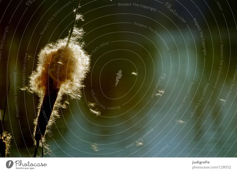 Sonntags am See Natur Wasser schön Farbe Umwelt Gras See träumen weich zart Schilfrohr Teich Samen Pollen Sonntag Rohrkolbengewächse