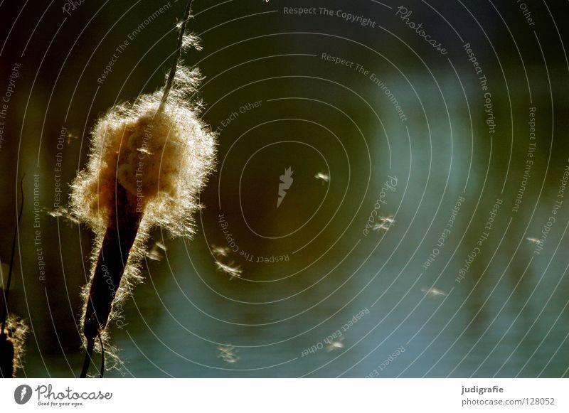 Sonntags am See Teich Schilfrohr Gras Gegenlicht träumen weich zart schön Umwelt Farbe Wasser Pollen Samen Natur Pollenflug