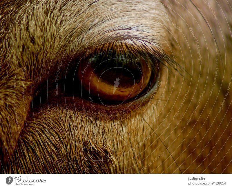Blick ruhig Tier Auge Farbe Neugier Fell Gelassenheit Säugetier sanft Wimpern Mufflon