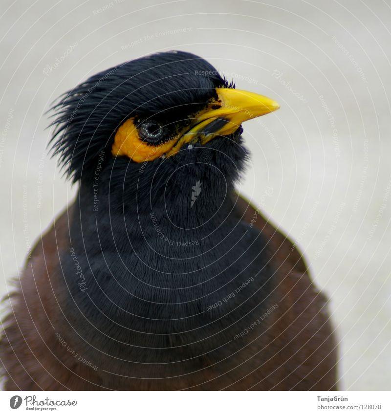 *diebisch* gelb schwarz braun grau Vogel Tier Dieb Schnabel Teer Thailand Koh Samui Feder Asien Makroaufnahme Nahaufnahme blau Blue Black Brown Grey Bird Pet