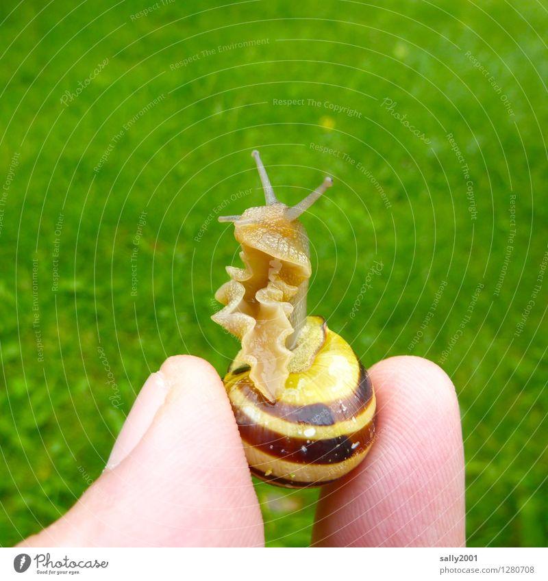 Rüschenschnecke... Finger Gras Garten Park Wiese Tier Schnecke Gartenschnecke Schneckenhaus 1 beobachten berühren Ekel schön kalt klein Neugier schleimig grün