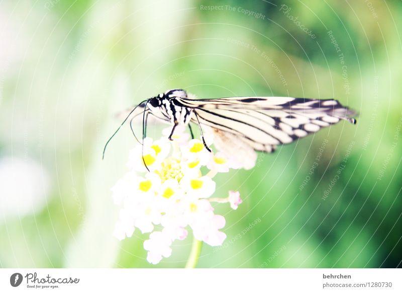 zart Natur Pflanze Tier Blume Blatt Blüte Garten Park Wiese Wildtier Schmetterling Tiergesicht Flügel Weiße Baumnymphe Beine Fühler 1 beobachten Erholung