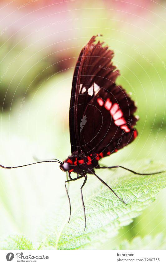 kuhherz Natur Pflanze Tier Baum Sträucher Blatt Garten Park Wiese Wildtier Schmetterling Tiergesicht Flügel Auge Fühler Rüssel Beine 1 beobachten Erholung