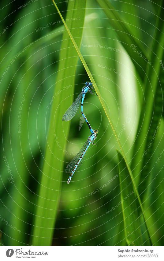 Libellen in love Insekt Fortpflanzung grün Natur blau Makroaufnahme paarweise Tierpaar