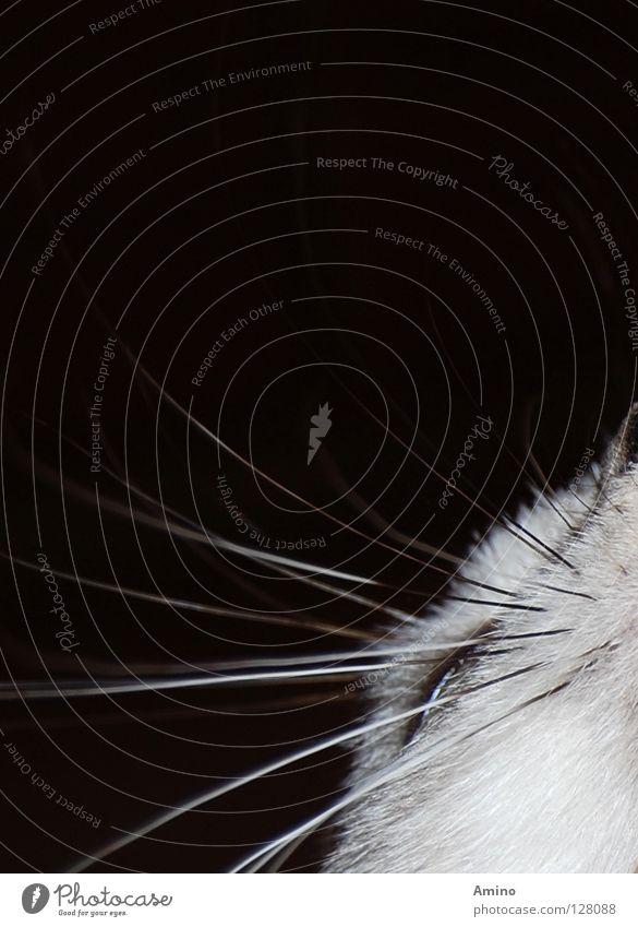 Schnurrbärtchen Katze Oberlippenbart schwarz weiß grau Fell Daunen Tier träumen schlafen Spielen ruhig Futter elegant edel Innenaufnahme Vor dunklem Hintergrund