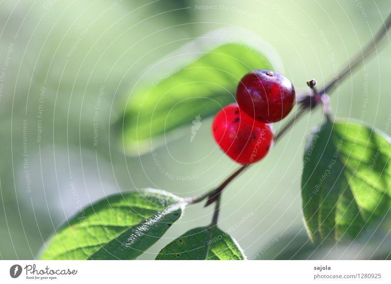 rote beeren Umwelt Natur Pflanze Sommer Sträucher Blatt Grünpflanze Wildpflanze Frucht Fruchtstand Beeren Beerensträucher Beerenfruchtstand rund grün 2