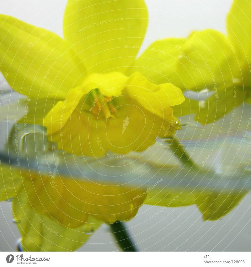 InWater unten nass Narzissen Gelbe Narzisse Frühling Blume Blüte Wachstum gelb Blütenblatt ertrinken Licht 2 Hälfte Makroaufnahme Nahaufnahme Wasser