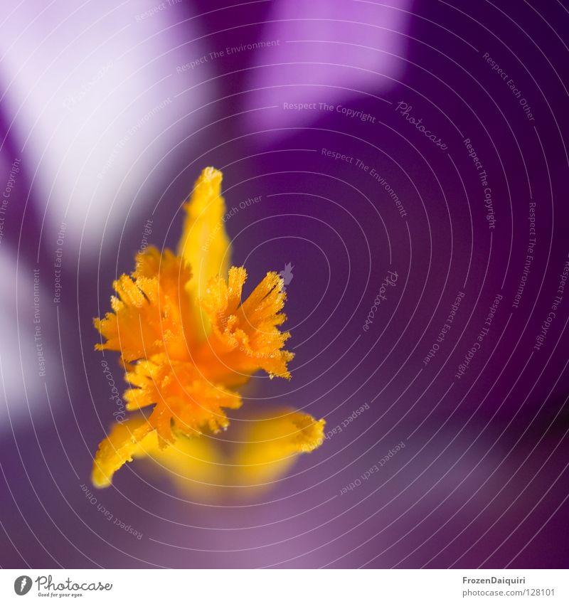 Krokus Closeup 1 Blume Blüte Blütenblatt Botanik Nahaufnahme Frühling gelb grün Krokusse violett Bundesland Niederösterreich Pflanze Österreich Makroaufnahme