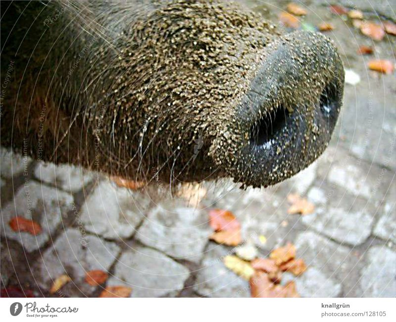 Dreckrüssel Blatt Herbst grau Sand braun Haut dreckig Nase Zoo Kopfsteinpflaster Geruch Säugetier Schwein Steckdose Borsten Rüssel