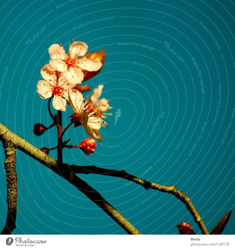 japanese spring Blüte Baum Sträucher rosa zart Blühend austreiben Frühling Fernost Asien Chinesisch Beleuchtung Garten Park Ast Zweig Blütenknospen Himmel blau