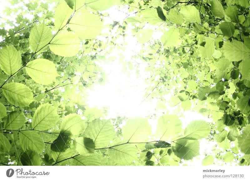 sommerfrische Licht grün Baum Sommer Frühling Durchblick Blatt Holzmehl Wald knackig harmonisch ruhig beruhigend Stress Blütenknospen mick morley tree fresh