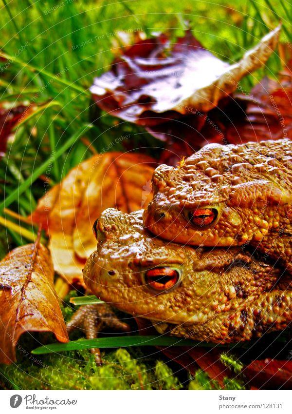 Krötenwanderung Wiese Gras Blatt nass feucht grün Zusammensein gefährlich Makroaufnahme Nahaufnahme Männliche Kröte weibliche Kröte Regen orange lange Reise