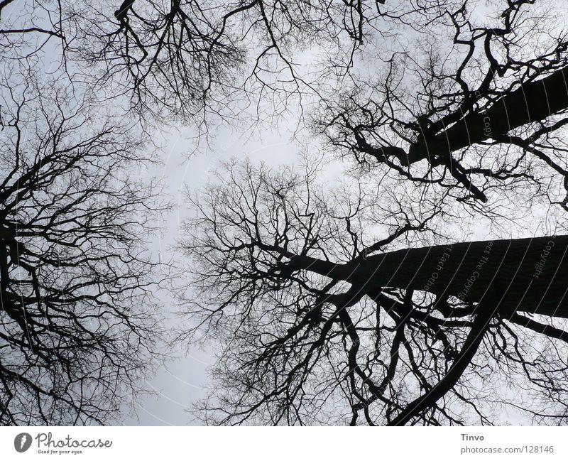 Blick zum Himmel Baum Baumkrone Winter Geäst Wald Ast Zweig hoch Schatten Natur schwarz grau hell-blau