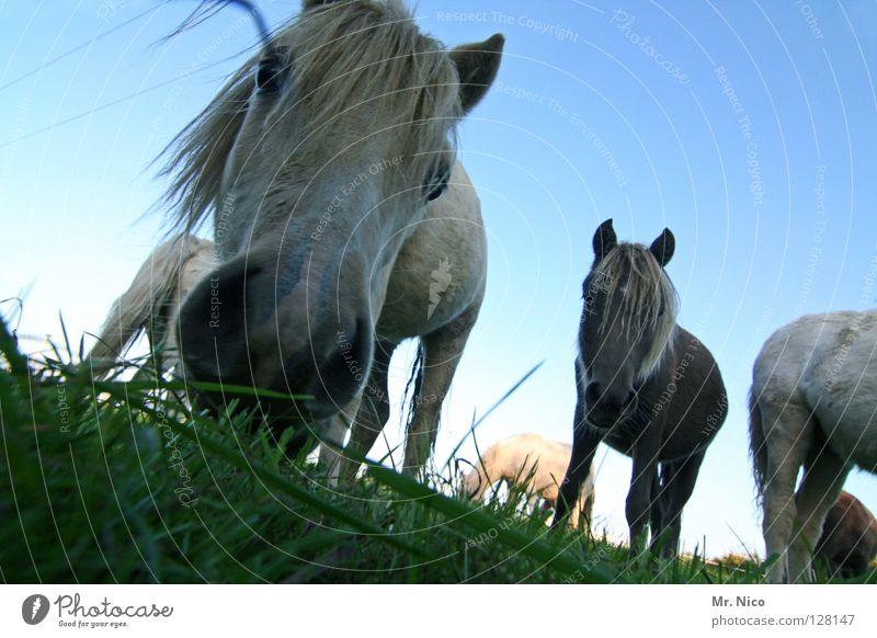 Pferdegeflüster Weide Gras Wiese grün Ponys Nüstern Mähne Borsten Neugier nah Weitwinkel Froschperspektive Pferdekopf Tier Säugetier vorwitzig Rasen blau Himmel