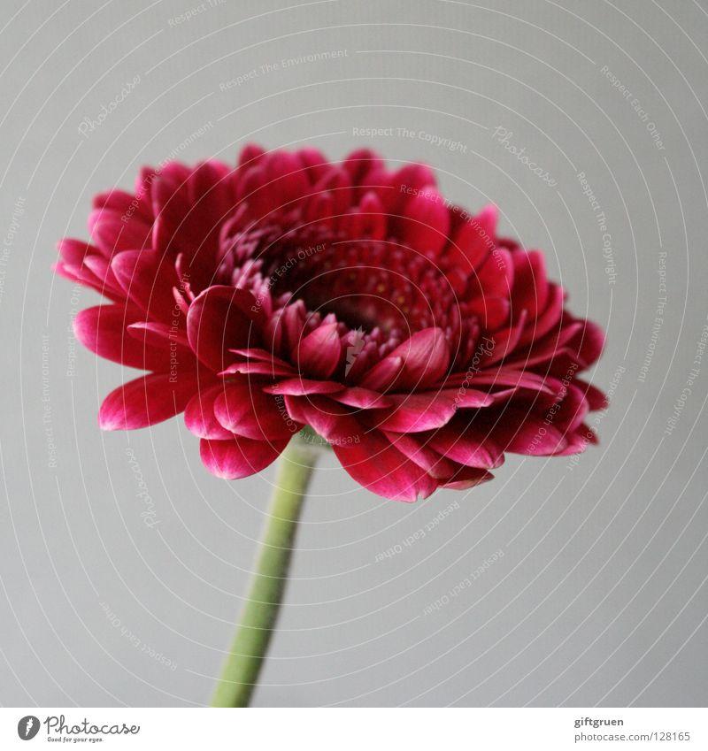 wo bleibt der frühling? Blume Blüte Blütenblatt Pflanze grün Wachstum Frühling rot Makroaufnahme Nahaufnahme Dekoration & Verzierung Natur Blühend