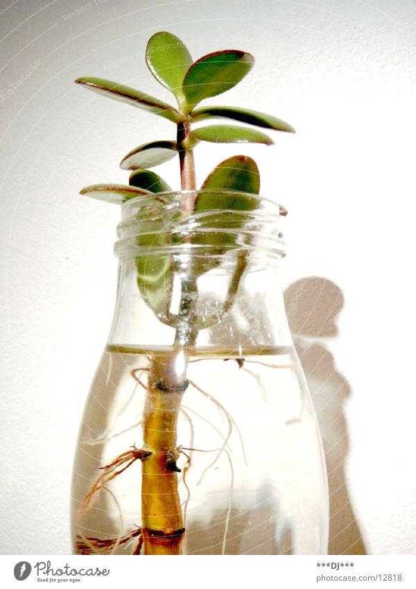 Pflanze im Glas Natur grün Pflanze Glas Wachstum