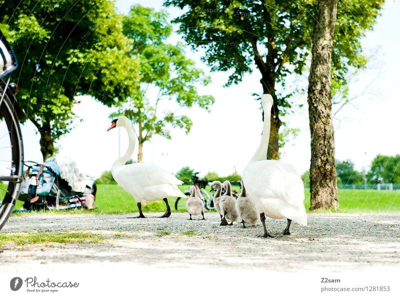 Familienausflug Natur Landschaft Sommer Schönes Wetter Baum Sträucher Park Wiese Seeufer Vogel Schwan Tierjunges Tierfamilie füttern gehen elegant frisch
