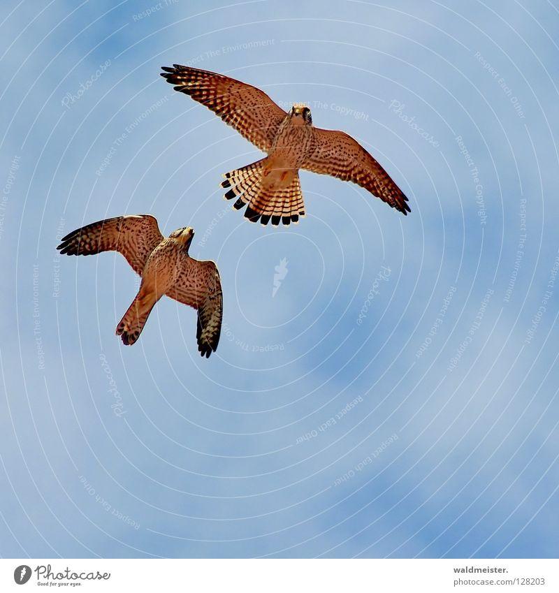 Zwei Falken eins Himmel Wolken Zusammensein Vogel Tierpaar paarweise Schwanz Umweltschutz Brunft Falken Greifvogel Turmfalke