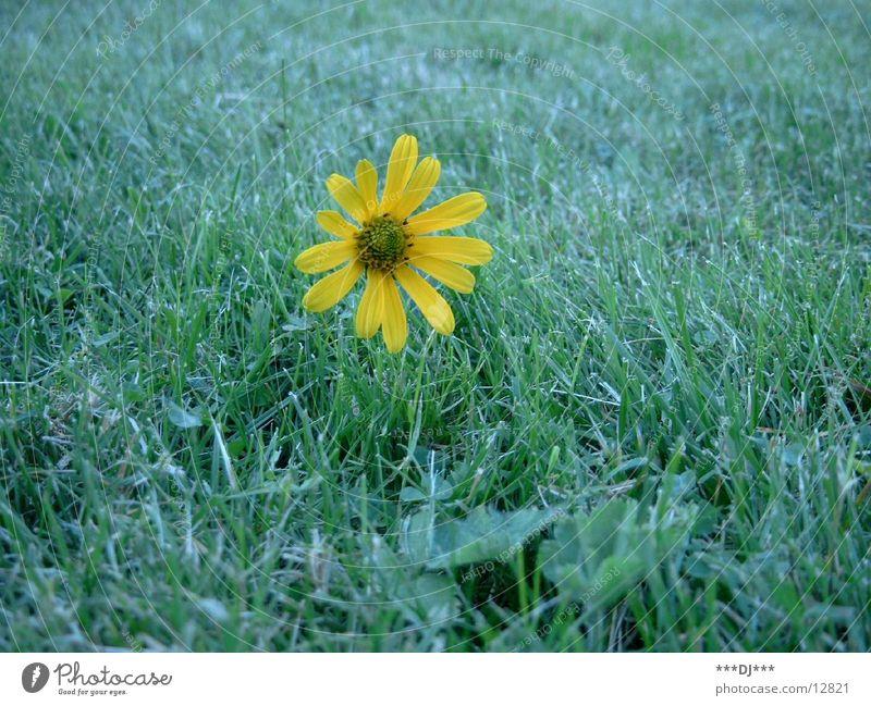 gelbe Blume in der Wiese Natur Blume gelb Wiese Duft