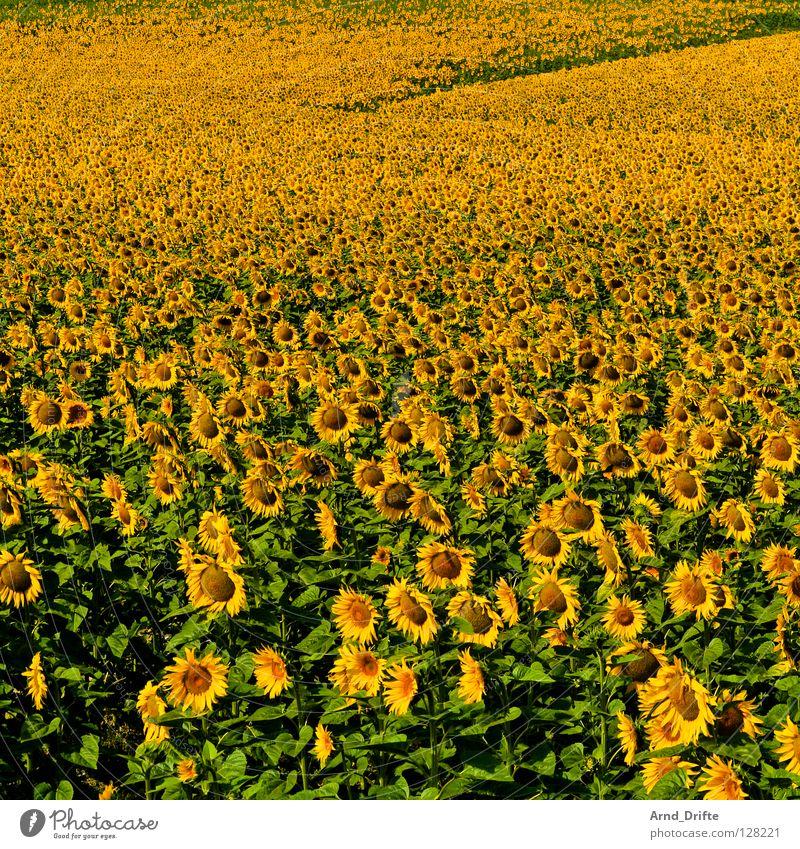 Sonnenblumenfeld VI Natur Blume blau Sommer gelb Arbeit & Erwerbstätigkeit Frühling Glück Landschaft frisch Fröhlichkeit mehrere Landwirtschaft Freundlichkeit