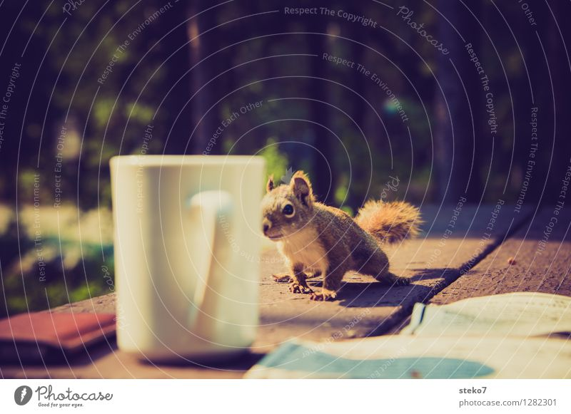 Neugier I Eichhörnchen 1 Tier beobachten frech Camping Tasse Dieb Außenaufnahme Tierporträt