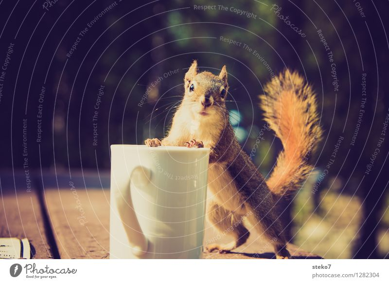 Neugier IV Eichhörnchen 1 Tier beobachten entdecken Blick frech Tasse Camping Enttäuschung Kaffeetrinken Kaffeepause Tierporträt
