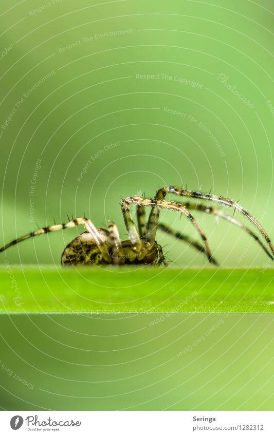 Spider Natur Landschaft Pflanze Tier Sommer Garten Park Wiese Feld Wald Spinne Tiergesicht 1 Fressen krabbeln Kreuzspinne Insekt Lebewesen Farbfoto mehrfarbig