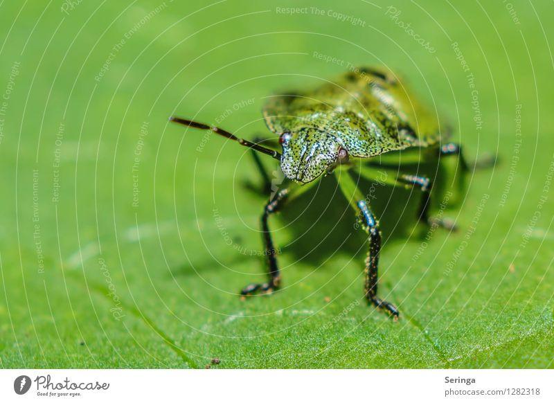 Grün auf grün Umwelt Natur Landschaft Pflanze Tier Sommer Blume Gras Sträucher Garten Park Wiese Feld Wald Käfer Tiergesicht 1 krabbeln Neugier Insekt Wanze
