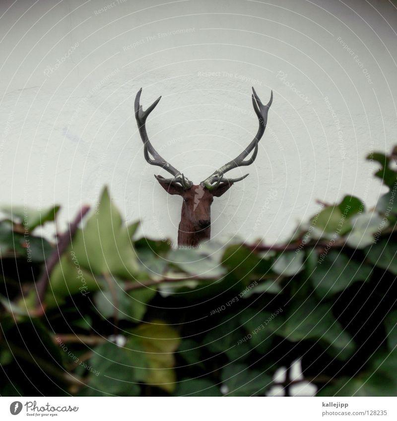 bei königs Hirsche Elch Tier Horn 12 Zwölfender Jäger Sträucher Efeu Hecke Nachbar Haus Bock Symbole & Metaphern Adjektive Rentier Hirschkuh Schmuck