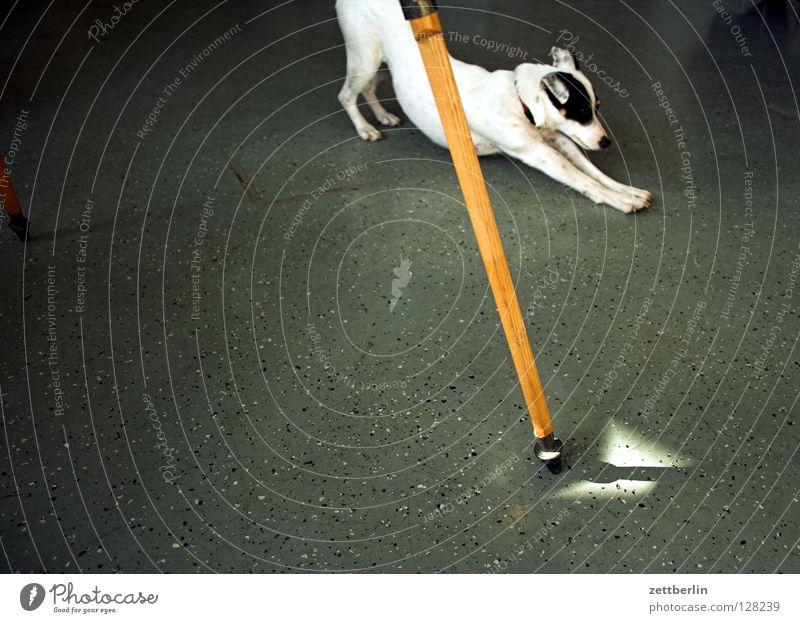 Dehnungsübung Fenster Hund Beine Raum leer verfallen Umzug (Wohnungswechsel) Säugetier Versicherung Stativ Lichteinfall Postbote Terrier Haushund Jack-Russell-Terrier