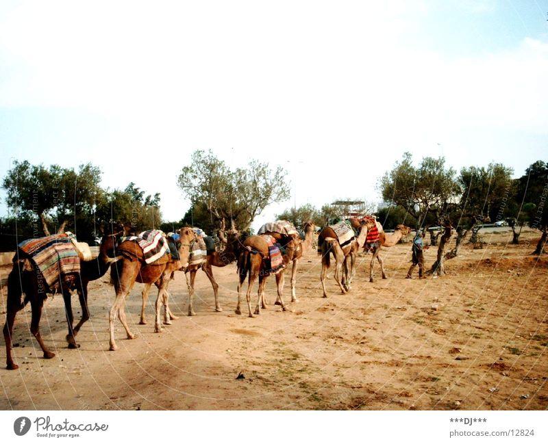 Kamele Ferien & Urlaub & Reisen Tier Afrika Kaktus Tunesien