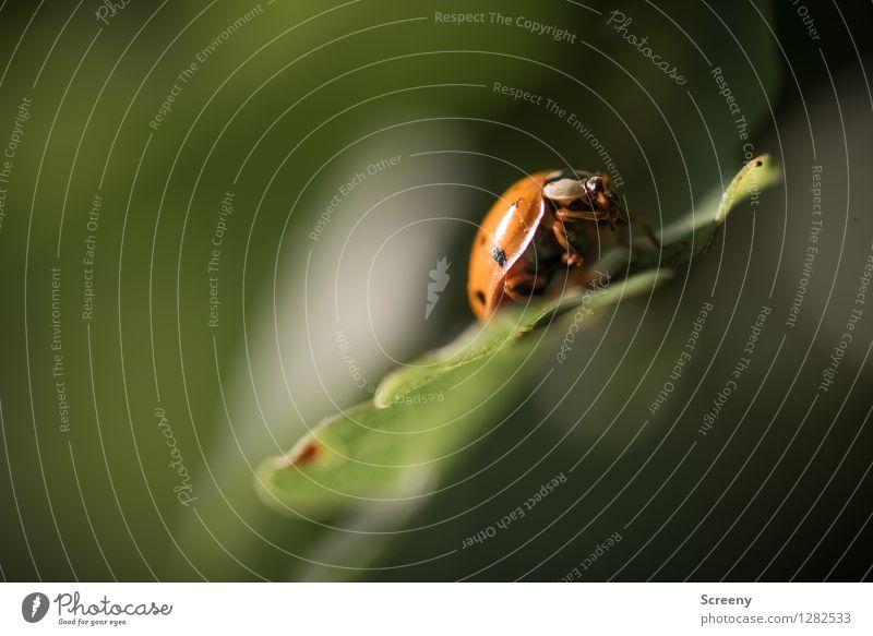 Käferlein Natur Landschaft Pflanze Tier Sommer Blatt Wald Marienkäfer 1 krabbeln sitzen klein grün rot Glück Farbfoto Außenaufnahme Nahaufnahme Makroaufnahme
