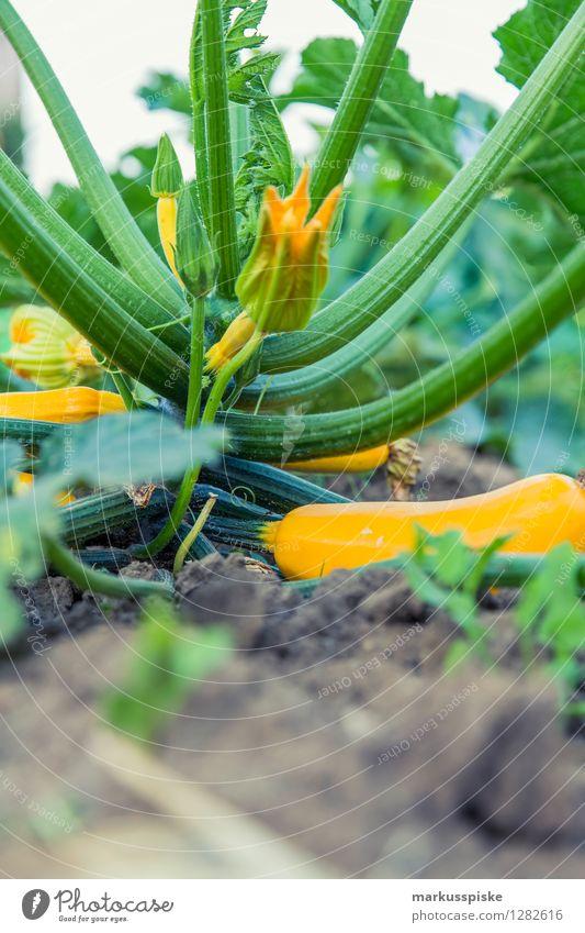 urban gardening bio zucchini Pflanze Gesunde Ernährung Haus Leben Garten Lifestyle Lebensmittel Freizeit & Hobby Wachstum frei Blühend Gemüse Bioprodukte Duft