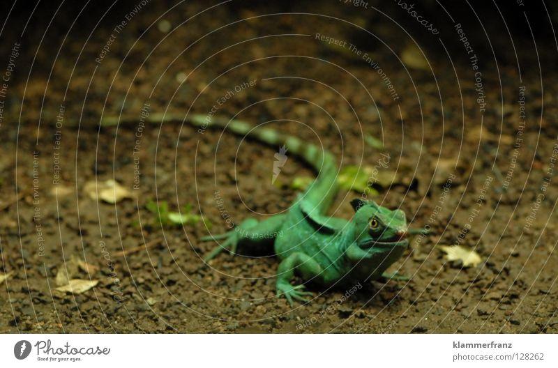 Osterhase Leguane Echte Eidechsen Grüner Leguan Reptil Echsen Blatt Tier Haustier Wissenschaften Boden