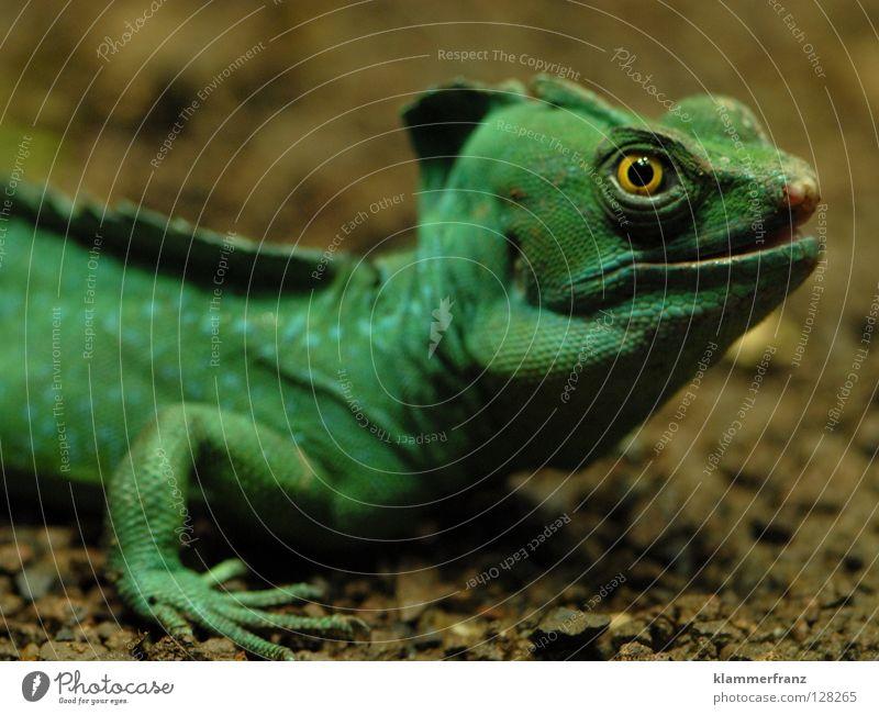 Gründonnerstagsgesicht oder grün Auge Bildung Maul Echsen Echte Eidechsen Leguane