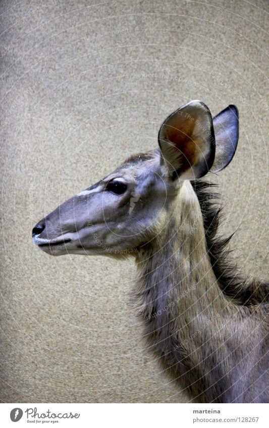 GROSSE OHREN groß Tier Säugetier Hochformat Zoo Ohr Blick Wildtier hören