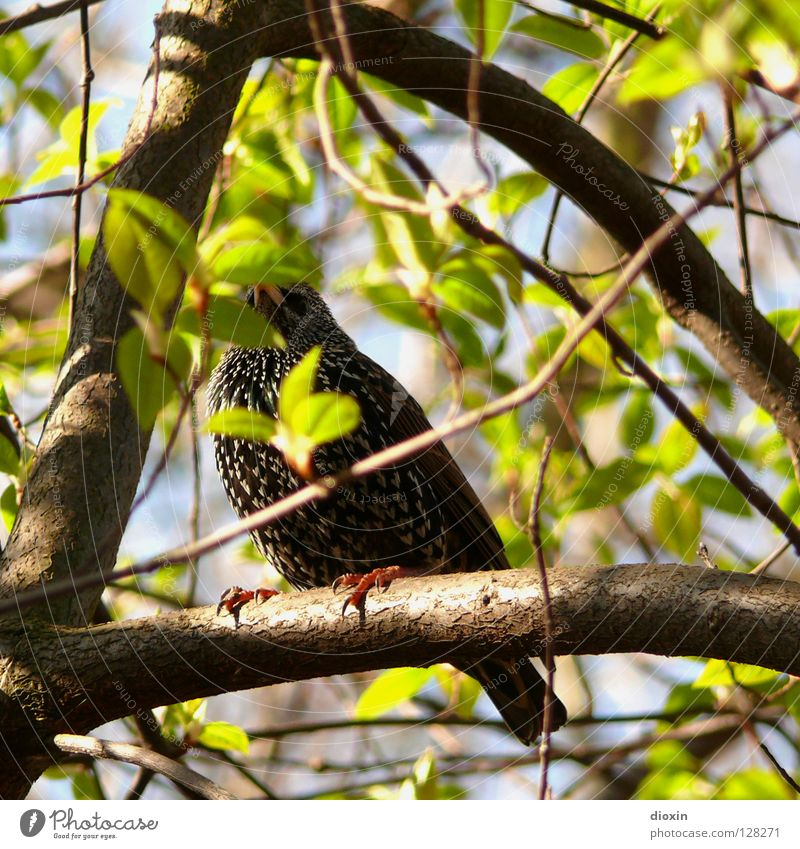ich bin ein Star, holt mich hier raus! Vogel Feder Blatt grün Baum Sträucher Krallen hocken Frühling sprießen Schüchternheit Wachsamkeit Unterholz Suche finden