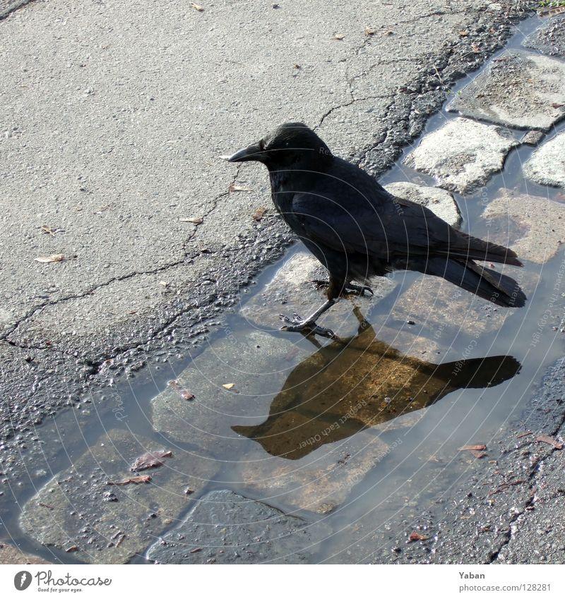 The raven Rabenvögel Krähe Dohle Vogel schwarz Reflexion & Spiegelung Asphalt Desaster Volksglaube dunkel unheimlich Angst Panik gefährlich so'n Geier halt