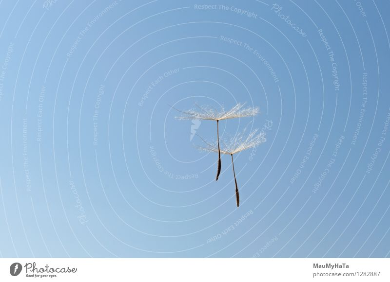 Löwenzahn Design Leben Freiheit Mensch Natur Pflanze Luft Himmel Wind Gras Blüte fliegen Wachstum frisch grün Frieden Vergänglichkeit Saatgut Licht ruhig weg