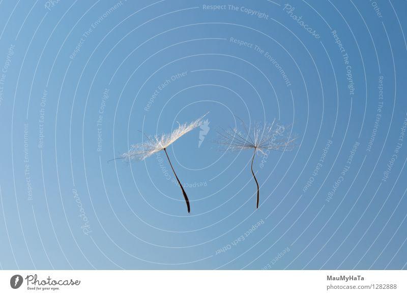 Löwenzahn Mensch Himmel Natur Pflanze grün Leben Blüte Gras Freiheit fliegen Design Luft Wachstum frisch Wind Vergänglichkeit